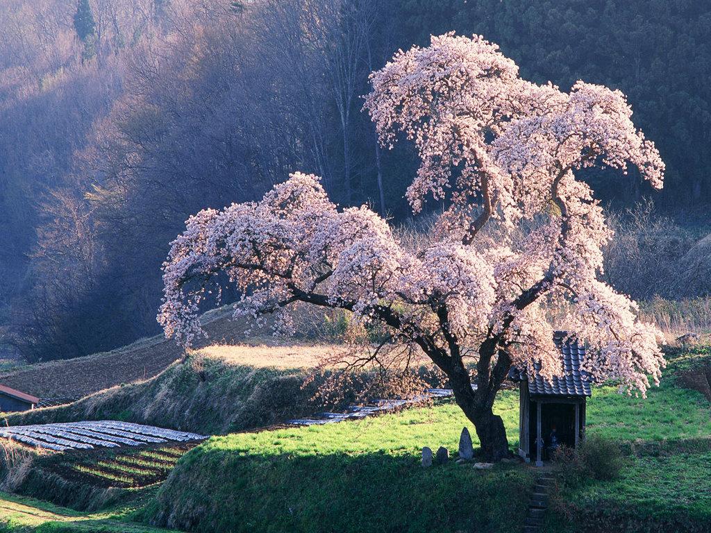 Cherry Sencha Japan By The Hazelmere Tea House Online Orders Free